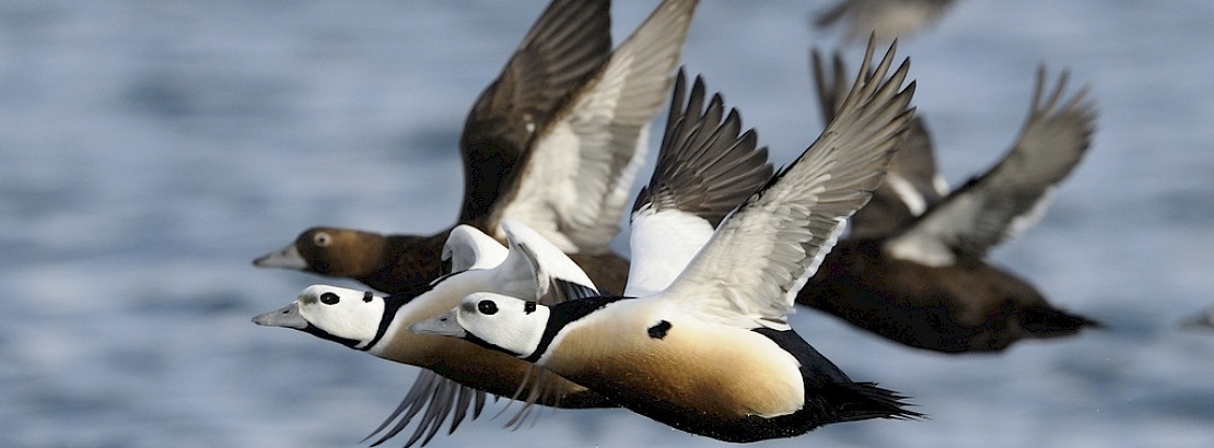 Eiders in flight. Photo: CAFF